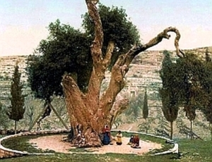 Stejarul Mamvri - Hebron