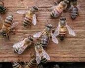 Baiatul care a alungat albinele