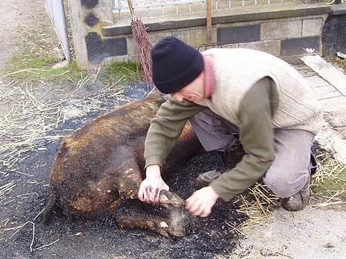 Obiceiuri de Craciun - Craciunul si taierea porcului